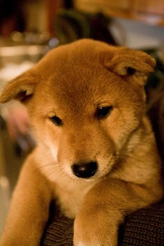 adorable, absolutely love shibas.