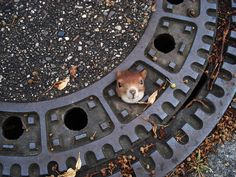 A squirrel is trapped in a manhole cover in Isenhagen, northern Germany, on Aug. 5. After they were called by neighbors, police managed to free the animal by using olive oil. (Associated Press via Police Hanover)