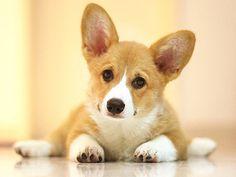 Adorable Corgi dog