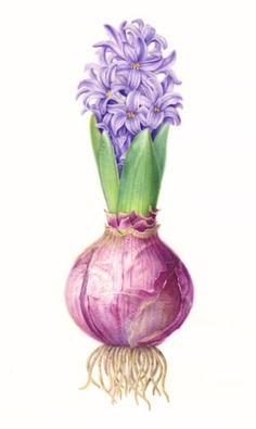 Hyacinth Bulb karen Kluglein