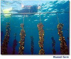 Mussel farm