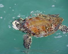 Sea Turtle Off the fishing pier at Jetty Park Cape Canaveral Florida May 17, 2014, Nikon D5100 300mm ISO 800 1/200 f11 with a polarizing filter. I normally do not shoot wildlife with a polarizing filter, but after this shot I think that may be short sighted. What is your opinion?