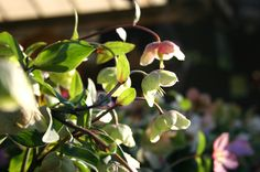 Also known as the Christmas Rose, hellebores flower throughout the winter and add colour to your garden.