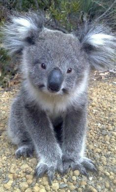The cutest koala ever!IEC More The cutest koala ever! Nature Animals, Animals And Pets, Wild Animals, Happy Animals, Cute Baby Animals, Funny Animals, Australian Animals, Tier Fotos, Pet Birds