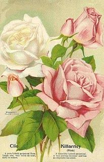 Antique Images: Free Flower Clip Art: Pink and White Roses from Antique Seed Catalog Decoupage Vintage, Art Vintage, Vintage Cards, Vintage Images, Vintage Prints, Shabby Vintage, Vintage Labels, Antique Prints, Art Floral