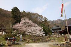 高顕寺の桜 4/20(5分咲き) Country Roads