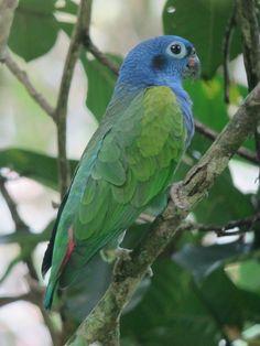 Blue-headed Parrot Doradal, Antioquia, Colombia