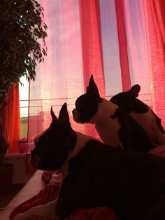 when you open your eyes in the morning. Open Your Eyes, Boston Terriers, Boston Terrier, Terriers