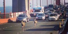 La belle histoire du jour : des biches font un tour sur le Golden Gate