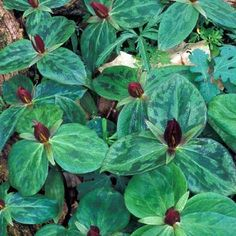 Trillium sessile. Flowers in spring. Cut back to encourage sprouting.