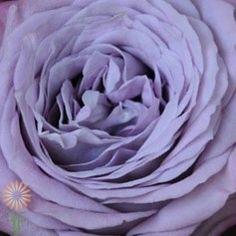 Lavender Bouquet Garden Roses l Wholesale Flowers & DIY Wedding Flowers Lavender Bouquet, Lavender Garden, Purple Garden, Lavender Flowers, Purple Roses, Rose Bouquet, Garden Roses, Diy Wedding Flowers, Diy Flowers
