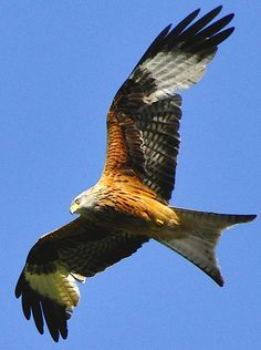 Red Kite in Flight - the bird I named my business after