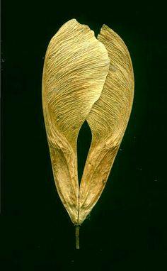 Winged seed pod