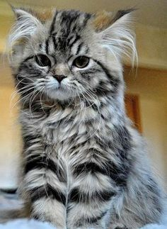 Memes, Kittens, and 🤖: Maine Coon kitten ❤ ❤ ❤️ Pics Of Cute Cats, Cute Cats And Kittens, Cool Cats, Kittens Cutest, Kittens Meowing, Fluffy Kittens, Ragdoll Kittens, Pretty Cats, Beautiful Cats