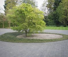 Image result for acer palmatum turning circle