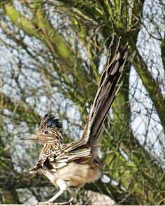 Ellayne Elias: Greater Roadrunner