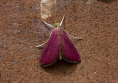 Southern Pink Moth (Pyrausta inornatalis)
