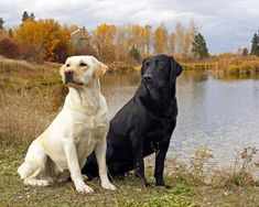 Labradors. This picture would b so much better if it included a chocolate!