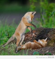 They talked, in a quiet desultory fashion, of badgers, otters, foxes - the pursuit of foxes - instances of amazing cunning, perfidy, endurance, lasting memory in foxes.... --Master and Commander, Chapter 9 // Lovely creatures; I can't imagine hunting them.