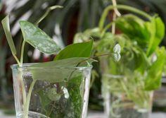 Useimpia huonekasveja on helppo lisätä pistokkaista. Anopinkielen, begonian tai soilikin voi uudistaa pelkästä lehdenpalasesta. Kurkkaa ohjeet ja tee itse!