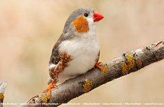 Penguin Zebra finch. These have really become my favorite mutation.