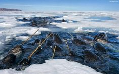 Narwhals!  Image from Paul Nicklen/National Geographic via Faerie Magazine FB
