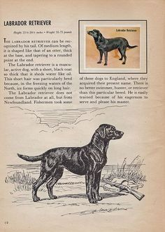 Labrador Retriever by Calsidyrose, via Flickr