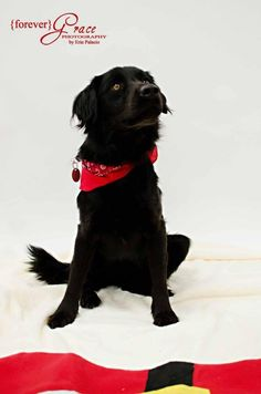 Meet Sadie, an adoptable Flat-coated Retriever looking for a forever home. If you're looking for a new pet to adopt or want information on how to get involved with adoptable pets, Petfinder.com is a great resource.