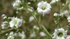 Das Schleierkraut blüht mit vielen kleinen weißen Blüten. (Quelle: dpa)