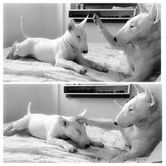Bullterrier | Tumblr