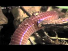 The Amazing World Of Earthworms In The UK - Springwatch - BBC Two
