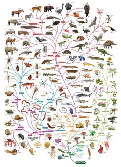 mucholderthen: Phylogenetic Tree of Life The OpenLearn site used to offer this phylogenetic chart in the shape of a tree as a free poster, ...