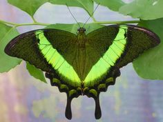 Green-banded Swallowtail