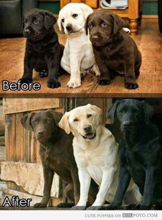 Labrador puppies before and after... *