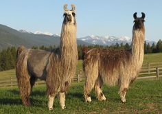 Its a llama Funny Llama, Cute Llama, Alpacas, Llama Pictures, Animals And Pets, Cute Animals, Llama Face, American Animals, Llama Alpaca