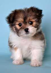 Shih Tzu Pomeranian Puppies