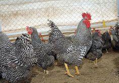 Desde Pergamino, el programa del INTA y del Ministerio de Desarrollo Social organiza una red de multiplicación y distribución de aves. En lo que va del año, ya se entregaron más de 440 mil pollitos para la producción de huevos y carne en granjas fami