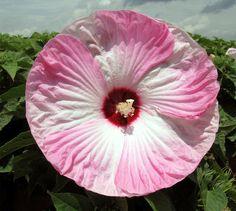 Heirloom 350 Seeds ROSE Annual MALLOW Lavatera trimestris Pink Bulk Seeds B1081, $1.79