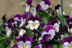 Gerade gefunden auf http://shop313566.fineartprint.de Hornveilchen, Natur, Pflanzen, Landschaft, Blumen, Blüten, Bauerngarten, Garten