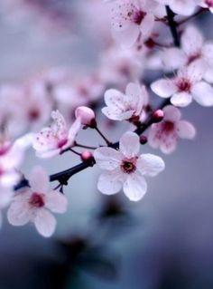 Pretty cherry blossoms❤️