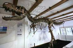 Tinker, le Nanotyrannus (T. rex junior).