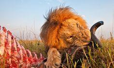 Fotos de close de leões com tecnologia de câmera inovadora