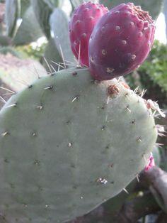 Flowering cactus, Santa Barbara