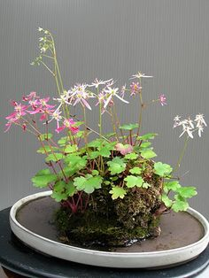 Sophie Le Berre - Japanese saxifrage (horticultural varieties of Saxifraga fortunei).