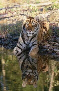 Beautiful Tiger. Please protect from hunters. They will kill every single beautiful animal on this planet if allowed.