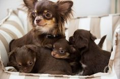 Foto: Chihuahua