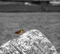 #Sparrow on the #seashore, with #summer not all #birds #migrate, #autumn2017 #colors , #animals and #nature #blackandwhite  created by www.ShootingStudio.it