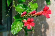 Bignonias o coro de trompetas - https://www.jardineriaon.com/bignonias-coro-trompetas.html #plantas