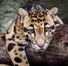 Clouded Leopard (Neofelis nebulosa) It has the body size and shape of a small… Small Wild Cats, Big Cats, Cool Cats, Cats And Kittens, Small Cat, Animals And Pets, Baby Animals, Cute Animals, Beautiful Cats