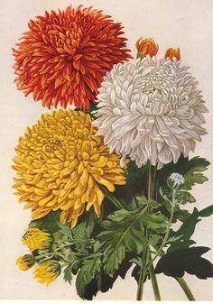 Chrysanthemums... For more pest control